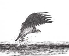 Departure – Osprey